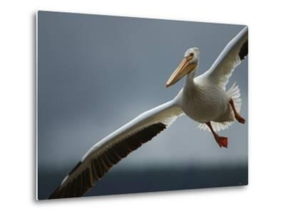 An American White Pelican Sails Above the Slave River-Klaus Nigge-Metal Print