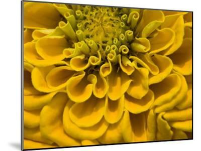 An Extreme Close Up of a Yellow Zinnia Flower-Brian Gordon Green-Mounted Photographic Print