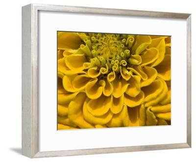 An Extreme Close Up of a Yellow Zinnia Flower-Brian Gordon Green-Framed Photographic Print