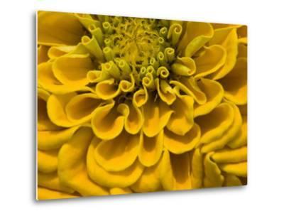 An Extreme Close Up of a Yellow Zinnia Flower-Brian Gordon Green-Metal Print