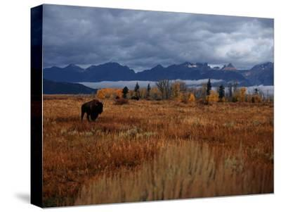 A Buffalo Grazing in Grand Teton National Park-Aaron Huey-Stretched Canvas Print