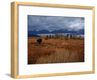 A Buffalo Grazing in Grand Teton National Park-Aaron Huey-Framed Photographic Print