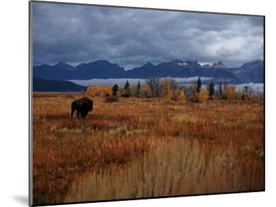 A Buffalo Grazing in Grand Teton National Park-Aaron Huey-Mounted Photographic Print