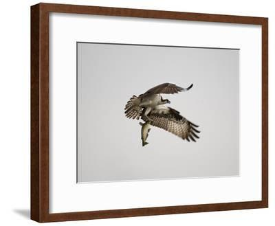 An Osprey with a Freshly Caught Fish-Aaron Huey-Framed Photographic Print