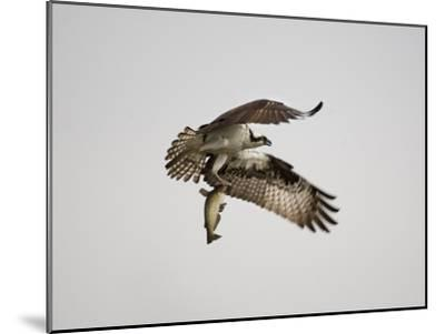 An Osprey with a Freshly Caught Fish-Aaron Huey-Mounted Photographic Print