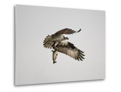 An Osprey with a Freshly Caught Fish-Aaron Huey-Metal Print