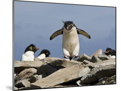 Macaroni Penguin, Eudyptes Chrysolophus, Hopping from Rock to Rock-Roy Toft-Mounted Photographic Print