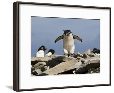 Macaroni Penguin, Eudyptes Chrysolophus, Hopping from Rock to Rock-Roy Toft-Framed Photographic Print