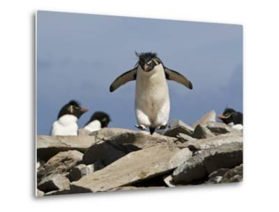 Macaroni Penguin, Eudyptes Chrysolophus, Hopping from Rock to Rock-Roy Toft-Metal Print