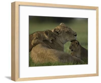 African Lioness, Panthera Leo, Resting with Cubs-Beverly Joubert-Framed Photographic Print
