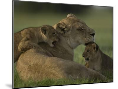African Lioness, Panthera Leo, Resting with Cubs-Beverly Joubert-Mounted Photographic Print