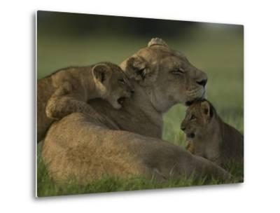 African Lioness, Panthera Leo, Resting with Cubs-Beverly Joubert-Metal Print