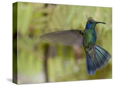 Portrait of a Green Violet-Ear Hummingbird, Colibri Thalassinus-Roy Toft-Stretched Canvas Print