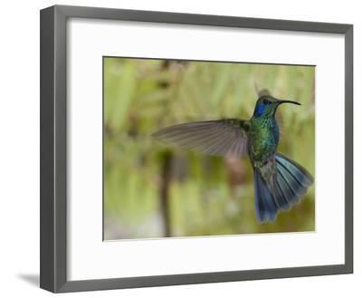 Portrait of a Green Violet-Ear Hummingbird, Colibri Thalassinus-Roy Toft-Framed Photographic Print