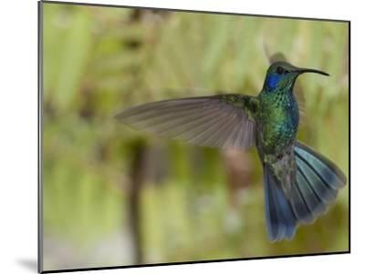 Portrait of a Green Violet-Ear Hummingbird, Colibri Thalassinus-Roy Toft-Mounted Photographic Print