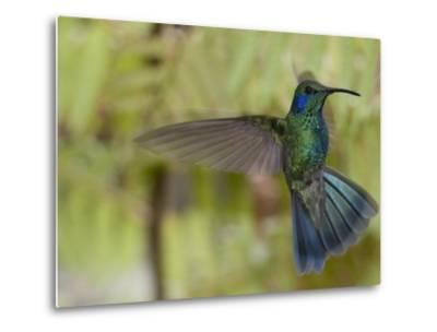 Portrait of a Green Violet-Ear Hummingbird, Colibri Thalassinus-Roy Toft-Metal Print