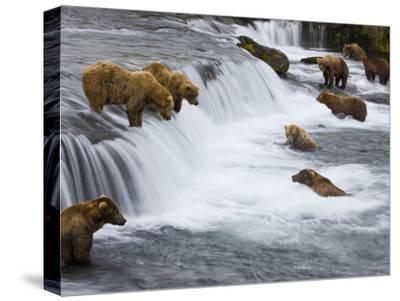 Brown Bears Wait for Sockeye Salmon to Jump at Brooks Falls-Michael Melford-Stretched Canvas Print