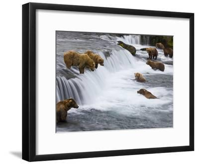 Brown Bears Wait for Sockeye Salmon to Jump at Brooks Falls-Michael Melford-Framed Photographic Print