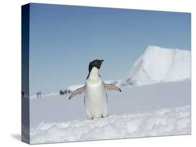 An Adelie Penguin, Pygoscelis Adeliae, on Fast Ice in the Weddell Sea-Keenpress-Stretched Canvas Print