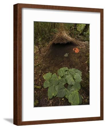 Piper Leaves, Orange Fungi and Berries Mark a Male Vogelkop's Bower-Tim Laman-Framed Photographic Print