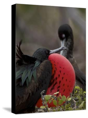 Male Great Frigatebird, Fregata Minor, with His Red Sac Inflated-Tim Laman-Stretched Canvas Print