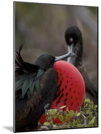 Male Great Frigatebird, Fregata Minor, with His Red Sac Inflated-Tim Laman-Mounted Photographic Print