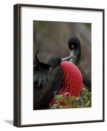 Male Great Frigatebird, Fregata Minor, with His Red Sac Inflated-Tim Laman-Framed Photographic Print