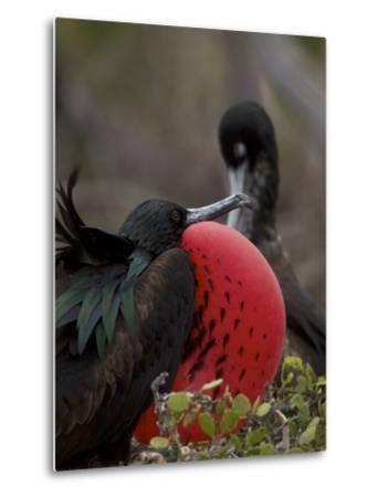 Male Great Frigatebird, Fregata Minor, with His Red Sac Inflated-Tim Laman-Metal Print