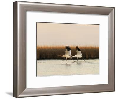 Whooping Crane Adult and Juvenile Taking Off from Wintering Grounds-Klaus Nigge-Framed Photographic Print