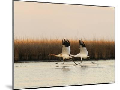 Whooping Crane Adult and Juvenile Taking Off from Wintering Grounds-Klaus Nigge-Mounted Photographic Print