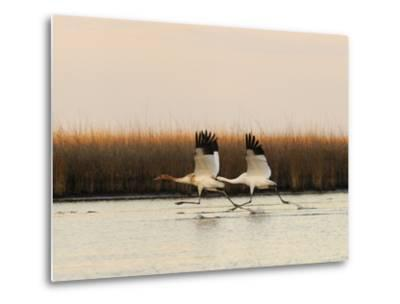 Whooping Crane Adult and Juvenile Taking Off from Wintering Grounds-Klaus Nigge-Metal Print