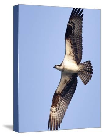 An Adult Osprey, Pandion Haliaetus, in Flight-Kent Kobersteen-Stretched Canvas Print