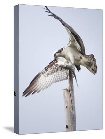 An Osprey on a Dead Tree, Eating a Fish, Near the Occoquan River-Kent Kobersteen-Stretched Canvas Print