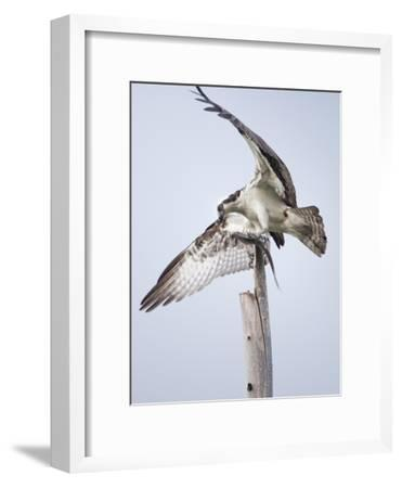 An Osprey on a Dead Tree, Eating a Fish, Near the Occoquan River-Kent Kobersteen-Framed Photographic Print