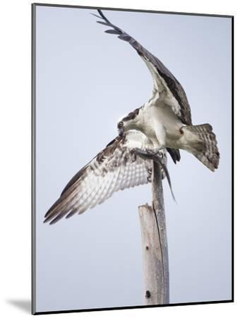 An Osprey on a Dead Tree, Eating a Fish, Near the Occoquan River-Kent Kobersteen-Mounted Photographic Print
