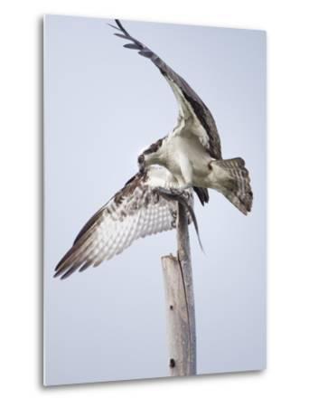 An Osprey on a Dead Tree, Eating a Fish, Near the Occoquan River-Kent Kobersteen-Metal Print