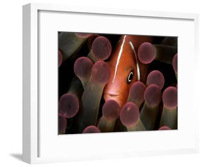 A Pink Anemonefish, Amphiprion Perideraion, Peeks Out from an Anemone-Mauricio Handler-Framed Photographic Print