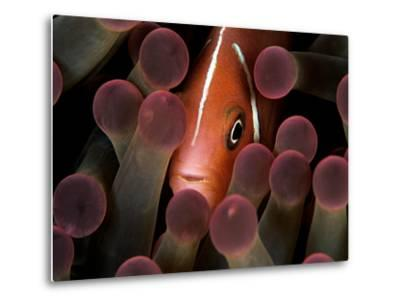 A Pink Anemonefish, Amphiprion Perideraion, Peeks Out from an Anemone-Mauricio Handler-Metal Print