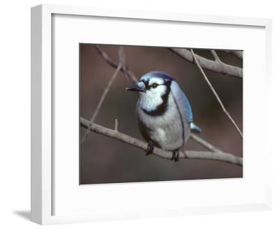 A Blue Jay, Cyanocitta Cristata, Perched on a Tree Branch-Bates Littlehales-Framed Photographic Print