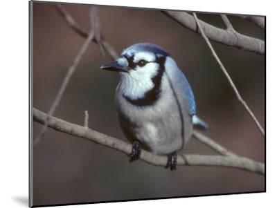 A Blue Jay, Cyanocitta Cristata, Perched on a Tree Branch-Bates Littlehales-Mounted Photographic Print