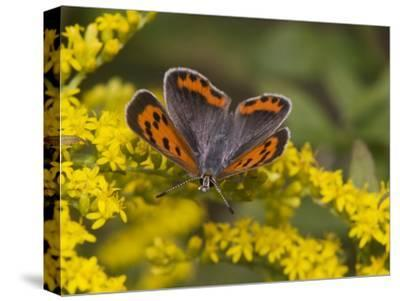 An American Copper Butterfly, Lycaena Phlaeas, on Goldenrod-Bates Littlehales-Stretched Canvas Print