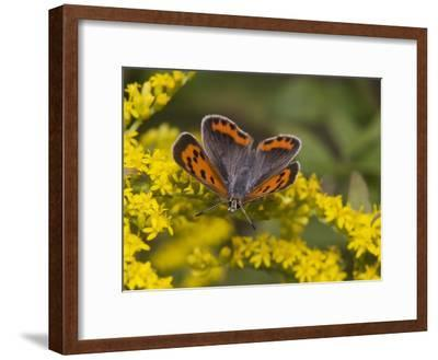 An American Copper Butterfly, Lycaena Phlaeas, on Goldenrod-Bates Littlehales-Framed Photographic Print