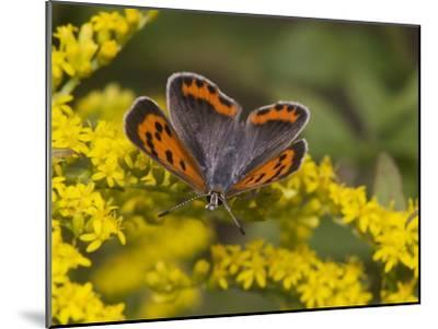 An American Copper Butterfly, Lycaena Phlaeas, on Goldenrod-Bates Littlehales-Mounted Photographic Print
