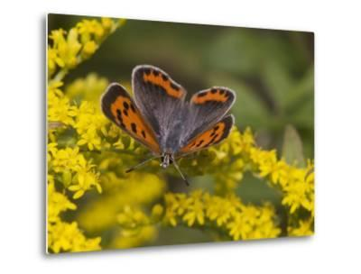 An American Copper Butterfly, Lycaena Phlaeas, on Goldenrod-Bates Littlehales-Metal Print