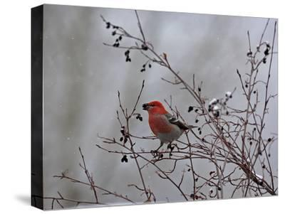 A Red Finch, Carpodacus Genus, Eats Berries from a Tree-Robbie George-Stretched Canvas Print