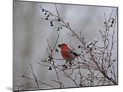 A Red Finch, Carpodacus Genus, Eats Berries from a Tree-Robbie George-Mounted Photographic Print