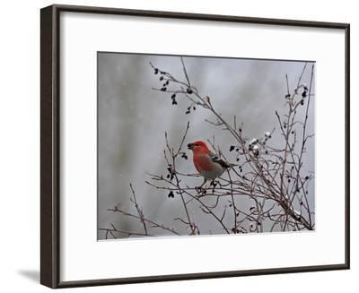 A Red Finch, Carpodacus Genus, Eats Berries from a Tree-Robbie George-Framed Photographic Print
