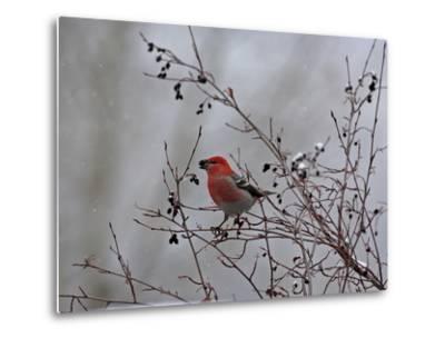 A Red Finch, Carpodacus Genus, Eats Berries from a Tree-Robbie George-Metal Print