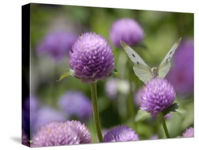 A Butterfly Alighted on a Thistle-Stephanie Lane-Stretched Canvas Print