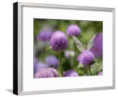 A Butterfly Alighted on a Thistle-Stephanie Lane-Framed Photographic Print